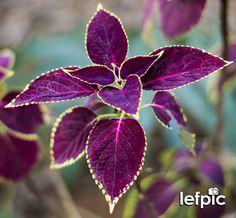 • Flores - Solenostemon scutellarioides, conhecido pelo nome comum de Cóleus, é uma espécie de planta perene ornamental originária do sudeste Asiático. Pode atingir em torno de 40 a 90 cm de altura, sendo o seu cultivo recomendado à sombra parcial, mas que também pode ficar em exposição direta à luz solar, pois é intolerante ao frio. 📷 by Leandro Floriano Download da imagem no #Fotolia: https://fotolia.com/id/118085079 #flower #leaf #garden #forest #jungle #home #environment #nature…