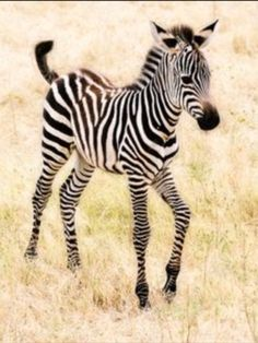Baby Animals: A cute little zebra prancing through the fields! Mundo Animal, My Animal, Animal Babies, Zebras, Nature Animals, Animals And Pets, Wildlife Nature, Beautiful Creatures, Animals Beautiful