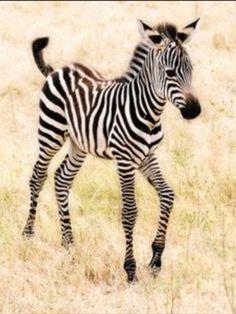 Baby Animals: A cute little zebra prancing through the fields! Cute Baby Animals, Animals And Pets, Funny Animals, Animal Babies, Zebras, Beautiful Creatures, Animals Beautiful, Photo Animaliere, Baby Zebra