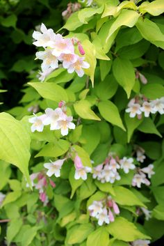Unlike the typical beauty bush (Kolkwitzia), Dream Catcher doesn't go into hiding after its spring bloom. It's bright golden foliage stays bold and bright from spring to fall. http://emfl.us/H6Jd