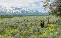 Female grizzlies of reproductive age are the most important part of a bear population. Whether they live or die can determine whether a population rises or falls. | Photo by Thomas D Mangelsen    399 and cubs cross a meadow