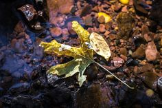 A single fallen leaf catches some sun rays in a creek, seen through the Sigma 18-35mm F1.8 DC HSM | Art lens.