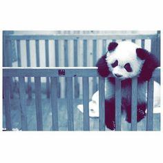 Panda Love, Cute Panda, Panda Bear, Girl Photography Poses, Animal Photography, Girl Photos, My Photos, Funny Girl Quotes, Boys Dpz