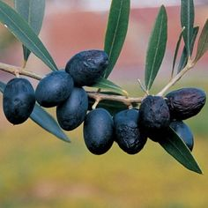 Arbequina Olive Tree - This valuable Spanish variety is a very attractive, naturally compact tree. Self-fertile and early ripening, Arbequina often begins bearing the year after planting and makes gourmet quality olives and oil.