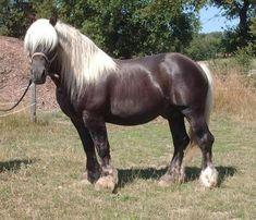 Comtois - stallion Oscar All The Pretty Horses, Beautiful Horses, Animals Beautiful, Draft Horse Breeds, Draft Horses, Barrel Racing Saddles, Barrel Racing Horses, Clydesdale Horses, Breyer Horses