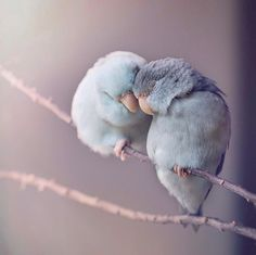 Dreamy Photos of Parrotlet Birds by Rupa Sutton. – Maxi Tendance Dreamy Photos of Parrotlet Birds by Rupa Sutton. Dreamy Photos of Parrotlet Birds by Rupa Sutton. Cute Birds, Pretty Birds, Beautiful Birds, Animals Beautiful, Love Birds Pet, Beautiful Pictures, Two Birds, Wild Birds, Cute Baby Animals