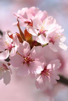 Cherry Blossom Painting, Cherry Blossom Tree, Pink Blossom, Blossom Trees, Blossom Flower, Flower Art, Water Flowers, Pink Flowers, Ikebana