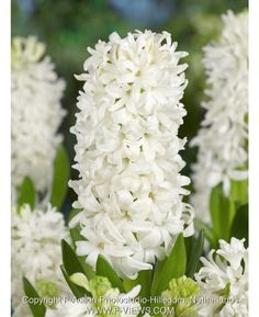 Hyacinths L'innocence