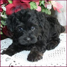 Adorable Yorkipoo, Yorkie Poodle, Yorkiepoo Hybrid Puppies for sale - Puppy Breeders Specializing in Healthy, Beautiful Mixed Breeds. Yorkie Poo Puppies, Yorkie Poodle, Teacup Puppies For Sale, Poodle Mix, Dogs And Puppies, Really Cute Puppies, Cute Dogs, Black Yorkie Poo, Baby Animals