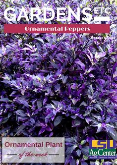 Ornamental peppers produce colorful fruit – which are actual peppers – in a wide range of sizes, forms and colors. Purple, orange, yellow, red, brown, blue and white are common. Multiple colors can appear on the same plant.