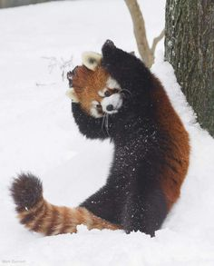panda dance (by Mark Dumont) Super Cute Animals, Cute Little Animals, Cute Funny Animals, Red Panda Cute, Cute Kittens, Cute Animal Pictures, Cute Creatures, Spirit Animal, Animal Photography