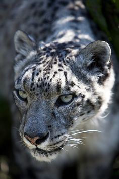 Snow Leopard is the master of intuition Big Cats, Cool Cats, Cats And Kittens, Beautiful Cats, Animals Beautiful, Animals And Pets, Cute Animals, Wild Animals, Baby Animals
