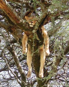 "deepsoulfury: ""Lioness relaxing more than usual…Wildlife """
