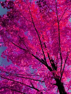 HOTPINK leaves against the blue sky.... Another BEAUTIFUL nature inspired color-scheme....-Ang