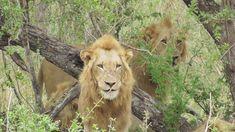 4 Beautiful Male Lions after a Buffalo kill very weary. Male Lion, Lions, Buffalo, Cats, Animals, Beautiful, Lion, Gatos, Animales