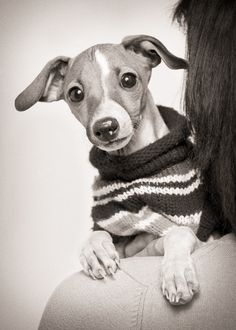 Italian Greyhound protected against the cold 》by Matthew Addonizio lacroix photography