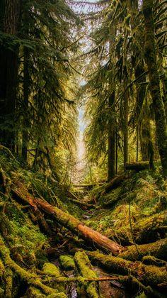 Nature's Landscape an Oregon forest.