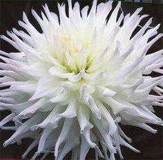 "MAGIC MOMENT (BSC) Introduced in 1993. A heavy blooming variety with 7"" white blossoms lightly blushed with lavender. An outstanding exhibition variety! Bush height is 4 1/2'. Small tubers. Recommended as a cut flower."