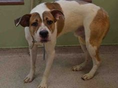 Manhattan Center MAX – A1107517  MALE, TAN / WHITE, PIT BULL MIX, 2 yrs, 1 mo STRAY – STRAY WAIT, NO HOLD Reason ABANDON Intake condition UNSPECIFIE Intake Date 03/31/2017, From NY 10474, DueOut Date 04/03/2017,