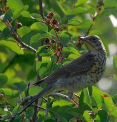 Birds love saskatoons too… Blue Tit, Berries, Birds, Eat, Bury, Bird, Blackberry, Strawberries