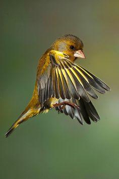 sweet!   Francesco Bettaglio   European Greenfinch (Chloris chloris)