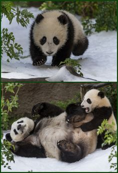 read here for #Panda cub's first #snow day at San Diego #zoo. http://littlecritterzblog.blogspot.com/  #sandiegozoo
