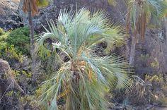 Ravenea glauca from Andringitra - DISCUSSING PALM TREES WORLDWIDE - PalmTalk