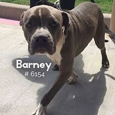 Pictures of Barney a American Pit Bull Terrier for adoption in Alvin, TX who needs a loving home.