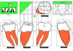 Dental Anatomy, Dental Life, Dentistry, Teeth, Study, Sculpture, School, Al Dente, Teeth Drawing
