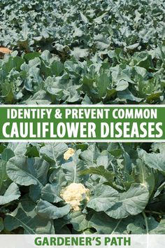 Cauliflower head formation depends upon cool temperatures that don't fluctuate, even moisture, and nutrient-rich soil. When plants become stressed, they are vulnerable to disease. Read on to learn about 12 conditions that commonly affect cauliflower now on Gardener's Path. #cauliflower #gardening #gardenerspath Growing Cauliflower, Hydroponic Gardening, Organic Gardening, Container Gardening, Small Vegetable Gardens, Vegetable Garden Tips, Gardening For Beginners, Gardening Tips