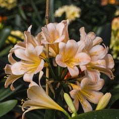 Colorado Clivia's plant number Clivia miniata, Charlette x Pat's Pink. Nails On Fleek, Wood Design, Nails Inspiration, Flower Power, Landscape Design, Colorado, Character Design, Lily, Gardens