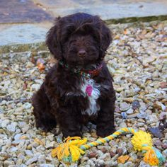 Our cockerpoo puppy Whinnie when we got her March 2011