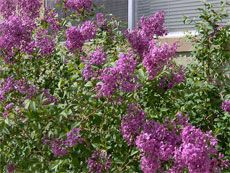 Reasons for non-blooming lilac bush