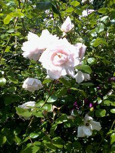La rosa di maggio.Profumatissima.