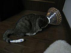 エリザベスカラーをつけた猫 福松