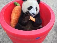 Twitter News China, Panda Bear, Twitter, Panda, Pandas