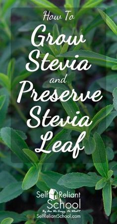 How To Grow Stevia and Preserve Stevia Leaf by Amy Claire