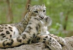 snow leopard with tail in mouth