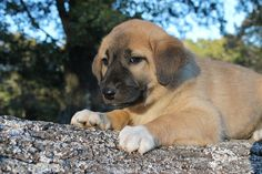 Litter of 9 Anatolian Shepherd puppies for sale in SEARCY, AR. ADN-49540 on PuppyFinder.com Gender: Female. Age: 6 Weeks Old
