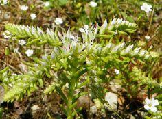 Widow's Cross, Glade Stonecrop (Sedum pulchellum)