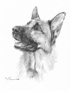 "Ready to go. This 8x10 pencil portrait of a German shepherd set to fetch was one of seven GS's I drew long ago for a proud owner from ""down under"" who loved her dogs. I used a 4B pencil on Canson..."