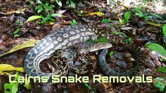 Snake Removal, Removal Services, Feral Cats, Cairns, Snakes, How To Remove, Facebook, Animals, Animales