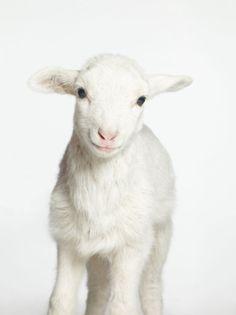 Lamb. white on white.