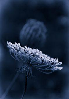 Midnight Garden, Midnight Blue, Love Blue, Blue And White, Color Blue, Dark Blue, Black, Foto Macro, 4 Wallpaper