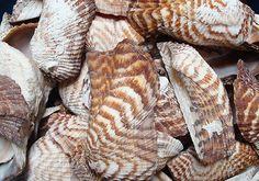 Turkey Wing Seashells 12 pcs.  Arca Zebra