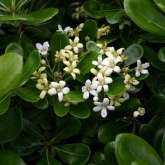Buy Pittosporum tobira 'Nanum' from Duchy of Cornwall Nursery! Your Pittosporum tobira 'Nanum' can be bought with over 3000 varieties of other garden plants, fruits and gifts. Landscaping Shrubs, Garden Shrubs, Garden Plants, Spring Blooms, Summer Flowers, Small Evergreen Shrubs, Blossom Perfume, Dry Garden