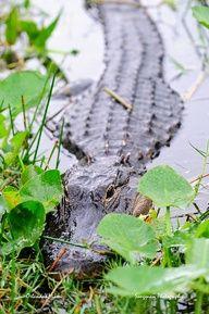 Everglades-Florida