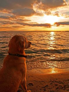 He sat there peacefully watching the sunset, then turned to me as if to say it's time to go home. #retriever #sunsets #beachlife #feelings #thoughtoftheday #adorable #dogs