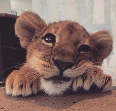 Black jaguar white tiger, animals and pets, baby animals, cute animals, safari Baby Animals Super Cute, Cute Little Animals, Cute Funny Animals, Cute Cats, Big Cats, Baby Animals Pictures, Cute Animal Pictures, Animals And Pets, Smiling Animals