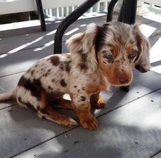 The Diverse Dachshund Breed - Champion Dogs Super Cute Puppies, Baby Animals Super Cute, Cute Baby Dogs, Cute Dogs And Puppies, Cute Little Animals, Cute Funny Animals, Cutest Dogs, Baby Animals Pictures, Cute Animal Photos